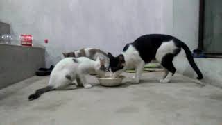 Black & White Cat with Kittens Aged 72 Days Drink Milk Licking Washing Hands & Mouth(1)