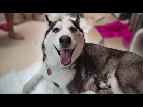 |  Husky Puppy Birth to 6th Months Old  |