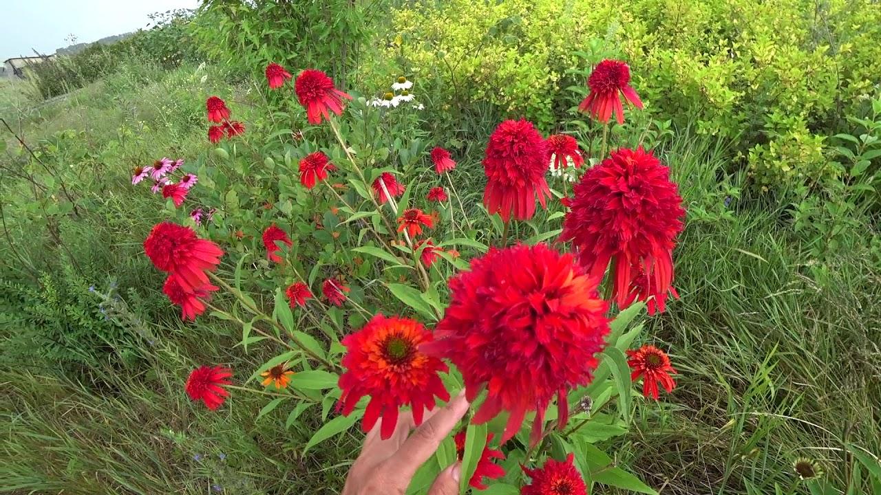 24 фев 2015. Эхинацея (лат. Echinacea) — род многолетних растений из семейства астровые, или сложноцветные (asteraceae).