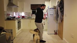 How to Teach your Dog to Tactical Heel  60 Sec Blue Print