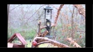 Atlanta Backyard Birds