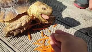 육지거북 당근먹기