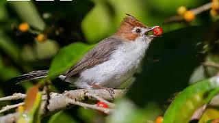 SADISNYA suara burung yuhina kalimantan atau prenjak batu