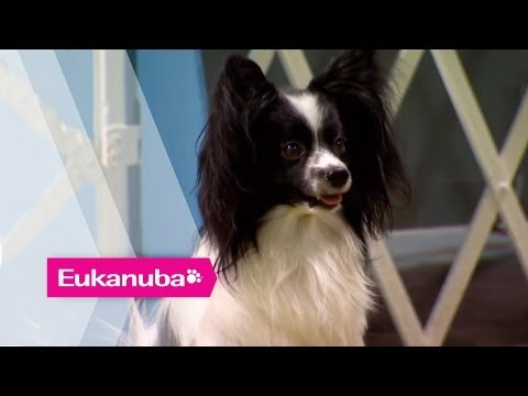 Masher the Papillion at an Agility Competition - Part 1 | Extraordinary Dogs