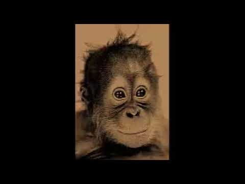 Hybrid Sumatran/Bornean orangutan Chantek Died at 39 yeasr old