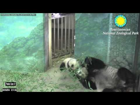 From the Panda Cam Vault: Playtime