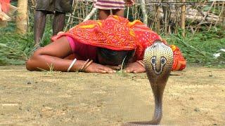 A Species Of Venomous Cobra Snake Rescue At: Arnapal, Odisha