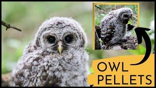 Barred Owl Chick Regurgitates Pellets - Incredible Close Up