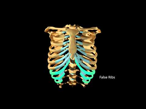 Ribcage Movement During Respiration