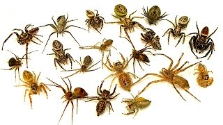 How To Kill 20 Spiders Easy! Wasps The Ultimate Spider Control