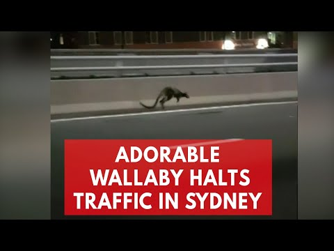 Wallaby gets the jump on police as it hops along Sydney Harbour Bridge