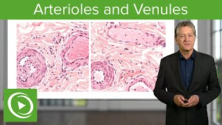 Arterioles & Venules: Main Differences – Histology | Lecturio