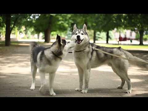 Супер прогулка собак  | Знакомство с хаски