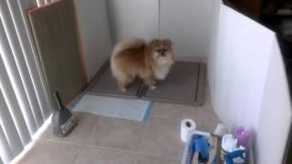 Pomeranian dog going potty on command