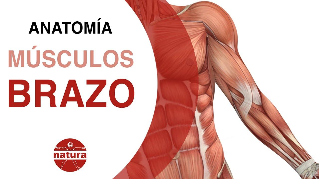 Clases de anatomía. Los brazos. Natura escuela de masaje - YouTube