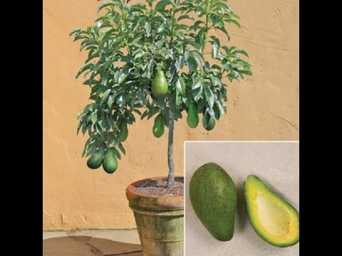 Mi planta de aguacate enana evoluci n youtube - Plantar aguacate en casa ...