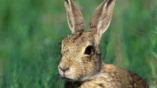 Dzikie Zwierzęta - zając i sarny Speed of the hare  1080p HD