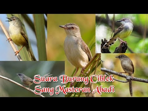 Download Lagu 5 Macam Burung Ciblek yang Populer di Indonesia [Sang Masteran Abadi]