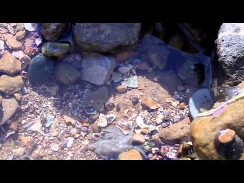 Catching Baby Octopus in California Tide Pools