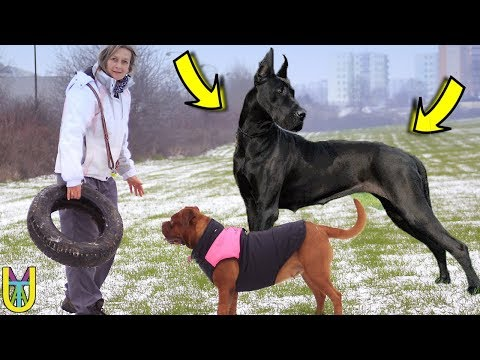 TOP 15 BIGGEST DOG BREEDS IN THE WORLD | Largest Dogs Ever