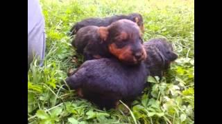 Caini De Vanzare Welsh Terrier 0752105993 Romania