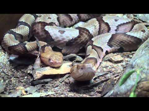 Copperhead Snakes At The Atlanta Zoo