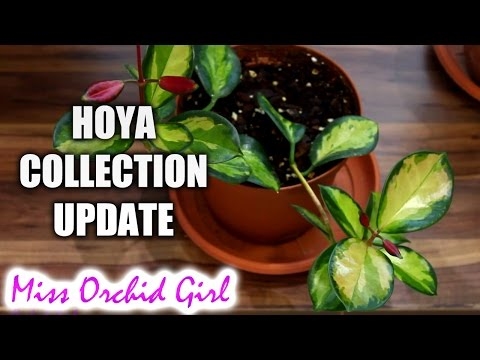 Hoya collection update
