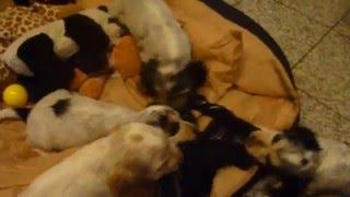 English Cocker Spaniel - Welpen ( Puppies ) Fast 8 Wochen Alt
