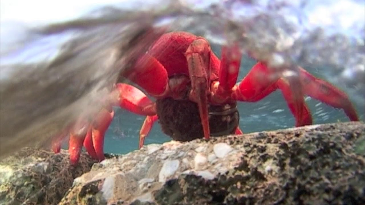 Red Crab Egg Release Youtube