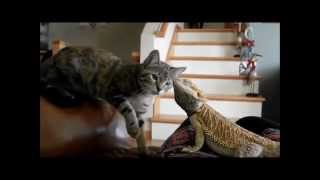 Shithead Vs. Meeko (Cat Vs. Bearded Dragon)