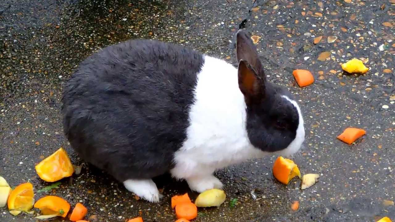 Cute Black And White Rabbit Eating Carrots