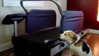 Treadmill Training Your Dog.wmv