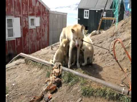 Robin Hood and the sleddogs of Greenland