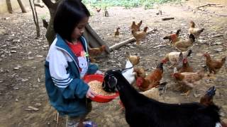 child feeding goat and chickens in Cuc Phuong, Vietnam