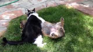 Cairn Terrier Plays With Cat