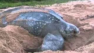 Самая крупная морская рептилия -- кожистая черепаха