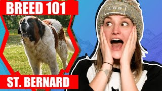 BREED 101 ST BERNARD! Everything You Need To Know About The ST BERNARD