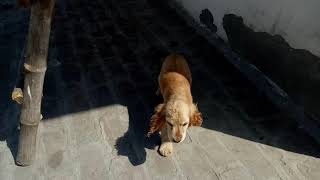 Cocker spaniel and dachsund puppies for sale lowest price in Dehradun Shimla Ludhaina Amritsar