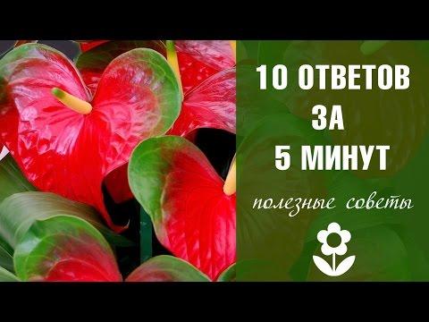 Антуриум домашний 10 ответов за ➎ минут ❀ Цветы с HitsadTV