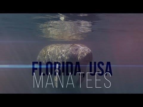 Unterwasser-Fotografie - Manatees