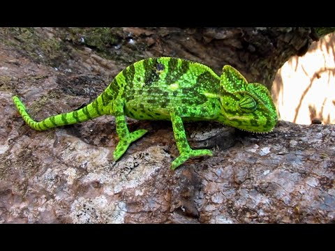 Chameleon Changing Colour in no Time..!!