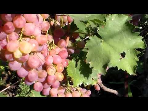 Сорта винограда - их характеристики и описание