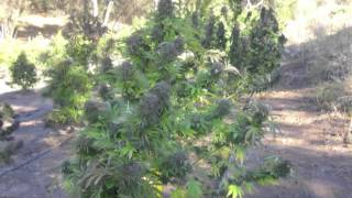 californias emerald triangle