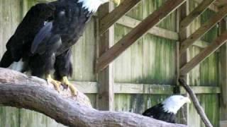 philippine eagle eating monkey