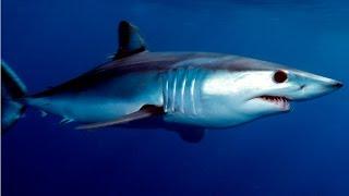 стэйк из акулы в кляре