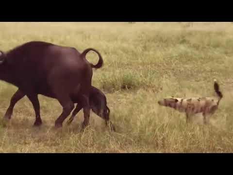 Жадная охота гиен!!!