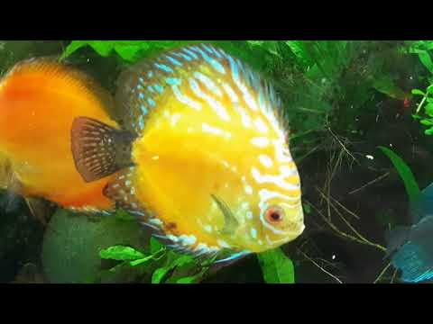 Discus Planted Low Tech Tank and How to Successfully Keep Discus and Maintain a Planted Tank