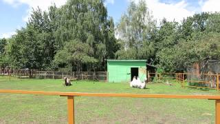 Верблюды в минском зоопарке.