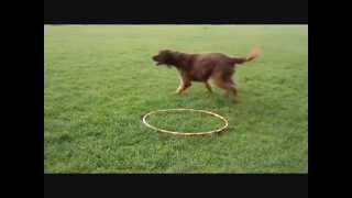 Hoop Tricks With Brandy By Www.trick-dog-training.co.uk