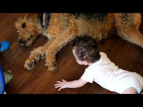 Dogs 101  Airedale Terrier  FunnyDog.TV
